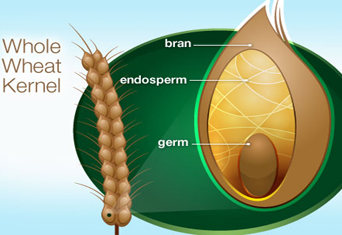 webmd_diagram_whole_wheat_kernel